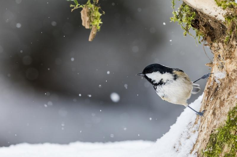 Coal tit in winter