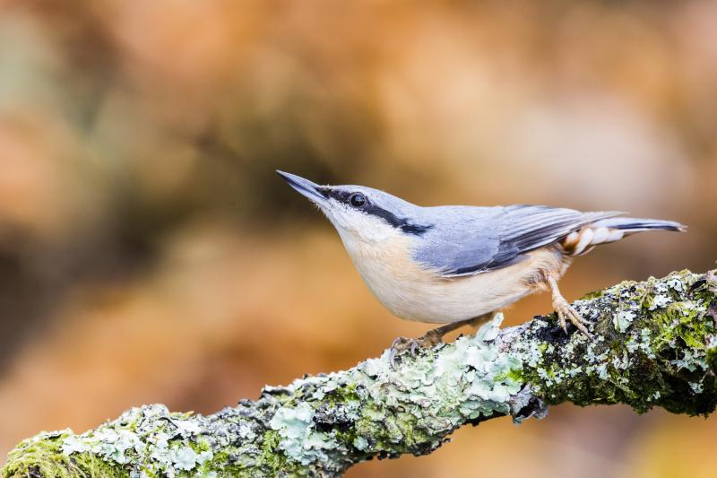 Nuthatch in autumn