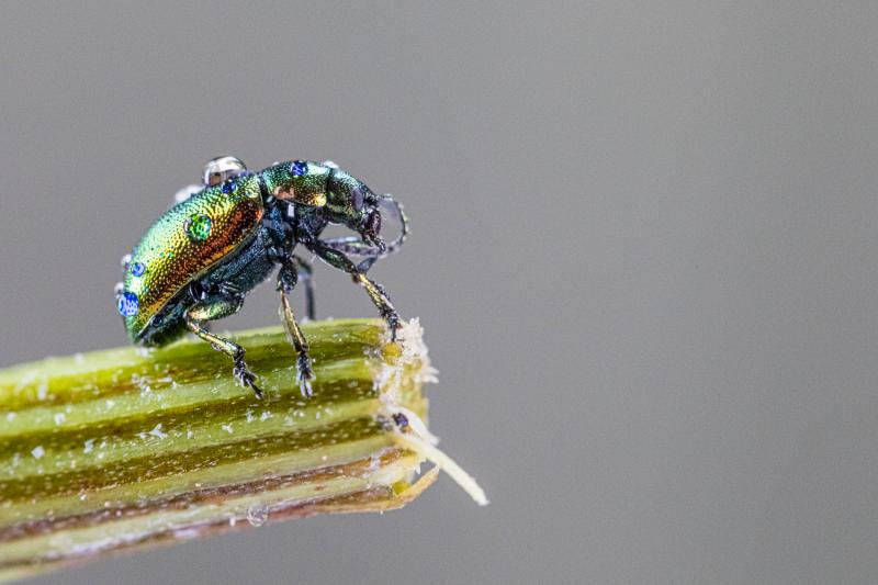 Leaf beetle (studio shot)