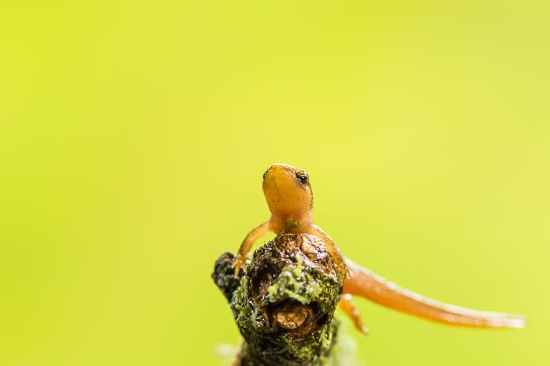 Smooth newt (studio shot)